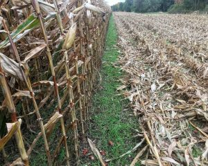 Advantages and challenges to inter-seeding cover crops into corn