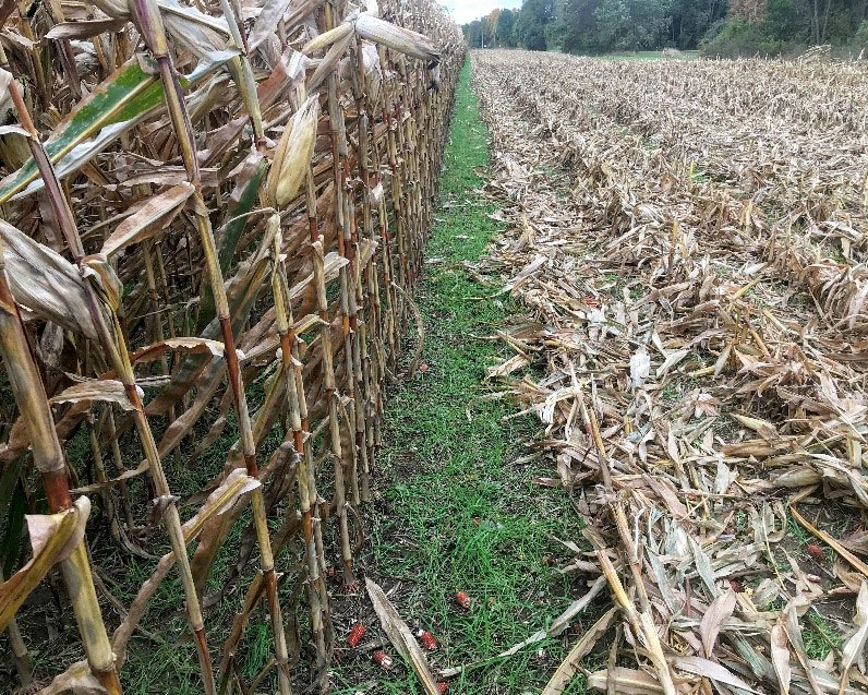 A cover crop that includes cereal rye and hairy vetch grows post-harvest along a row of corn.